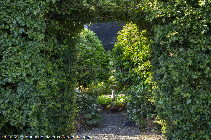 Clipped arch in hawthorn hedge, Prunus lusitanica, hostas in pots, astrantia, framed view into enclosed 'room'