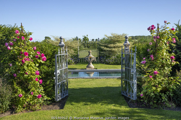 Wrought-iron metal gates in yew hedge, Rosa 'Sir Paul Smith', swimming pond