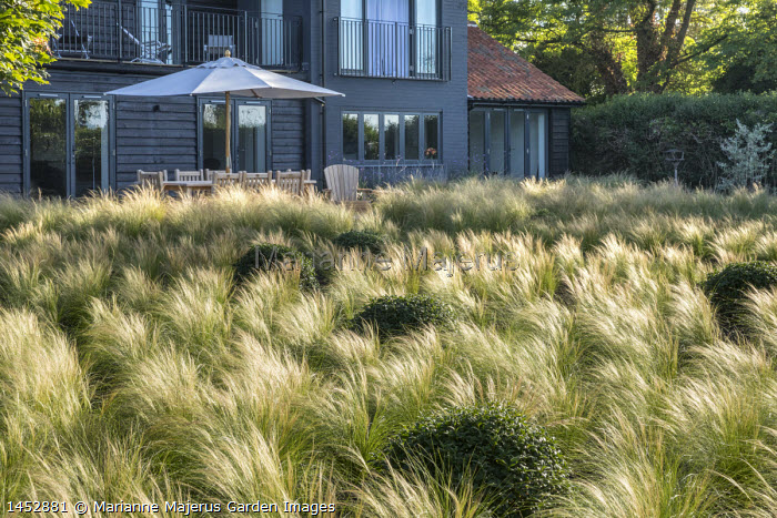 View across drift of Stipa tenuissima interspersed with Osmanthus x burkwoodii balls towards house, table and chairs under umbrella on patio