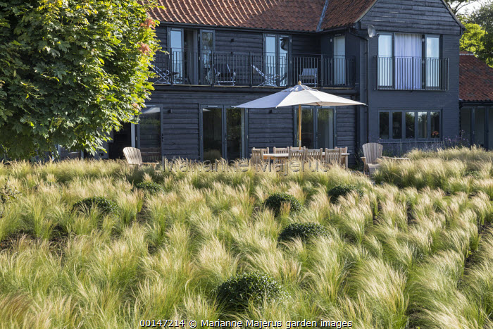 View across drift of Stipa tenuissima interspersed with Osmanthus x burkwoodii balls towards house, table and chairs on patio under umbrella