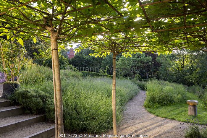 Umbrella trained mulberry trees above gravel terrace, lavender, steps, bird bath by Sarah Walton, Centaurea nigra in wildflower meadow