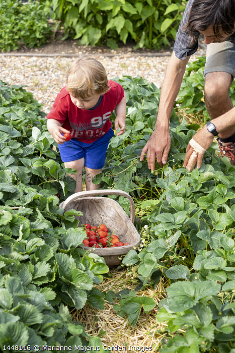Boy picking strawberries, harvested strawberries in wooden trug