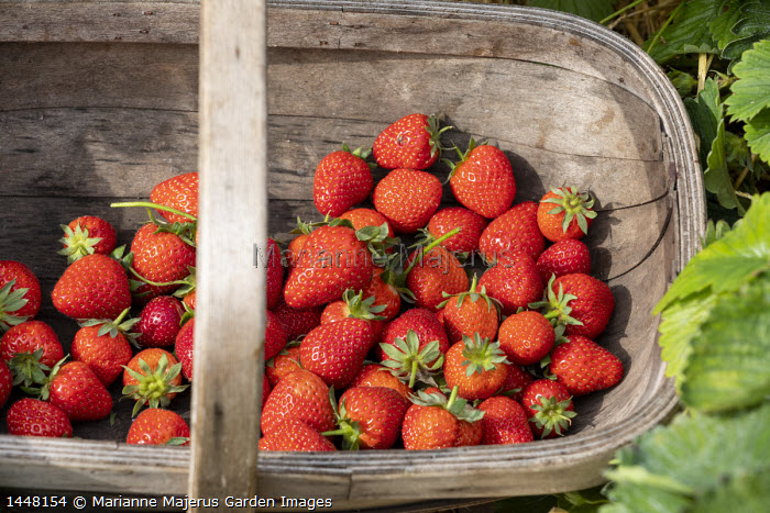 Harvested strawberries in wooden trug