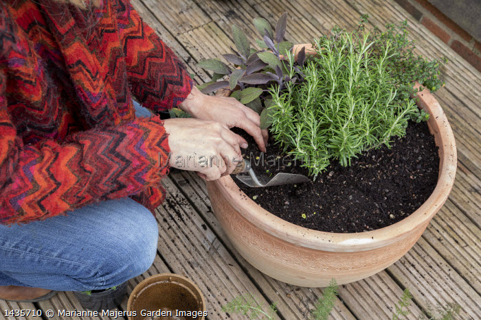 Woman planting large terracotta pot with herbs, thyme, rosemary, sage