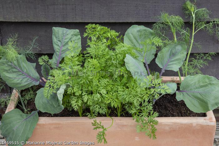 Anethum graveolens, Carrot 'Royal Chantenay 3' and Cabbage 'Cabeza Negra 3' in rectangular terracotta pot