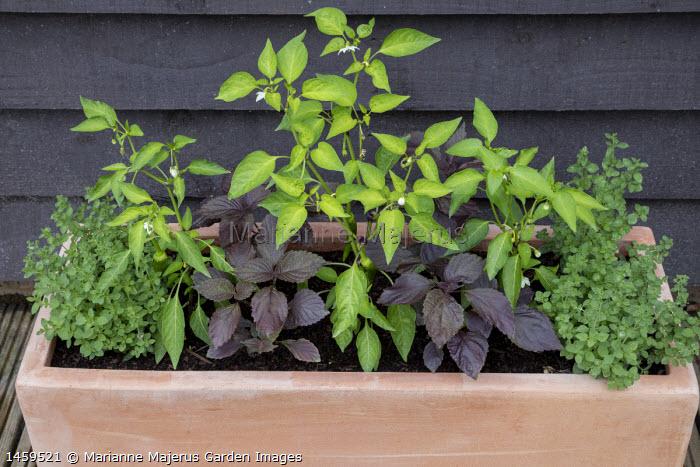 Chilli 'De Cayenne', Perilla frutescens 'Shiso' and Origanum vulgare in rectangular terracotta pot
