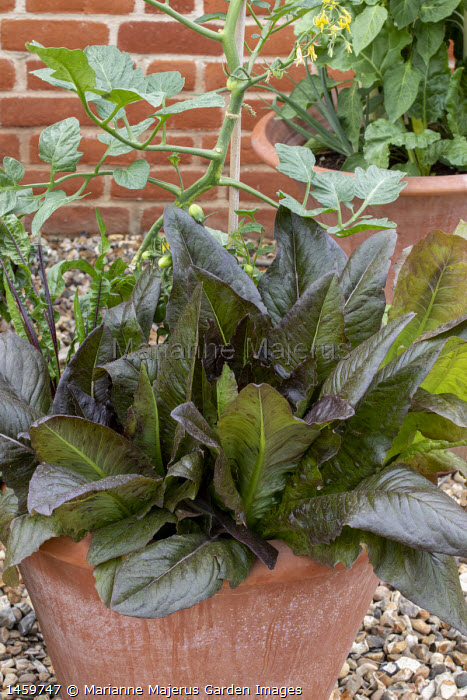 Lettuce 'Devil's Tongue' and Sorrel 'Red Veined' in terracotta pot