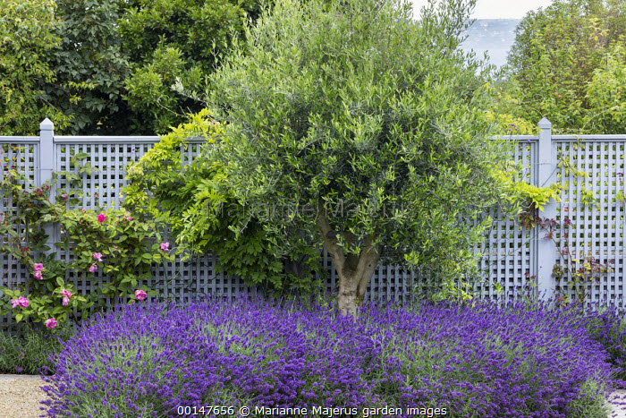 Trellis screen, olive tree underplanted with lavender, roses