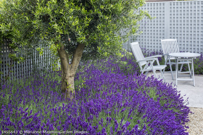 Blue painted wooden table and chairs on stone patio, trellis screen, olive tree underplanted with lavender