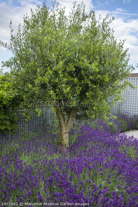 Olive tree underplanted with lavender, blue painted trellis screen