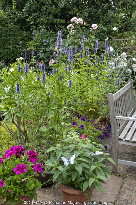 Wooden bench on patio, agastache, Regal Pelargonium 'Burghi', Rosa 'Alba Maxima' and 'Sharifa Asma'