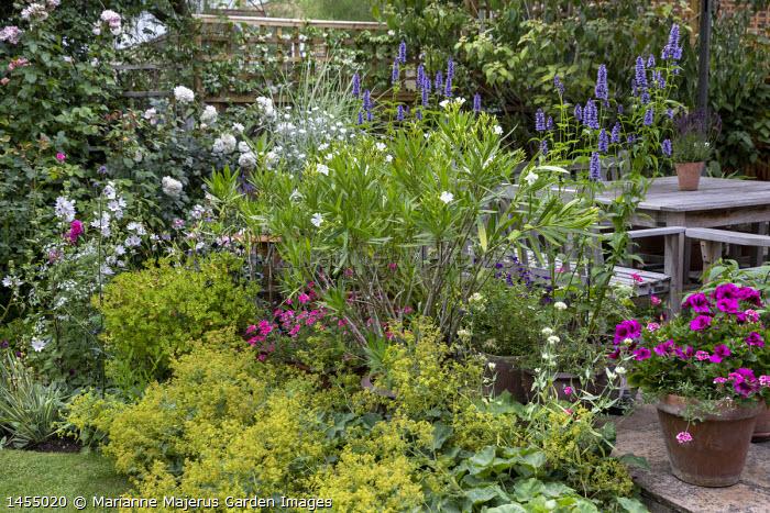Wooden chairs on patio, Nerium oleander, Agastache 'Blackadder', Alchemilla mollis, Rosa 'Alba Maxima', Lavatera x clementii 'Barnsley Baby', Regal Pelargonium 'Burghi'