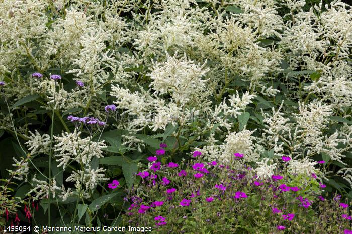 Persicaria polymorpha syn. Persicaria alpina, Verbena bonariensis, Geranium 'Ann Folkard'