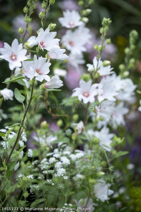 Lavatera x clementii 'Barnsley Baby', Ammi majus