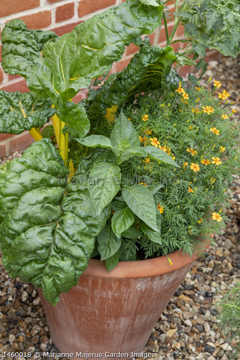 Swiss Chard 'Pirol' and Tagetes 'Golden Gem' in terracotta pot
