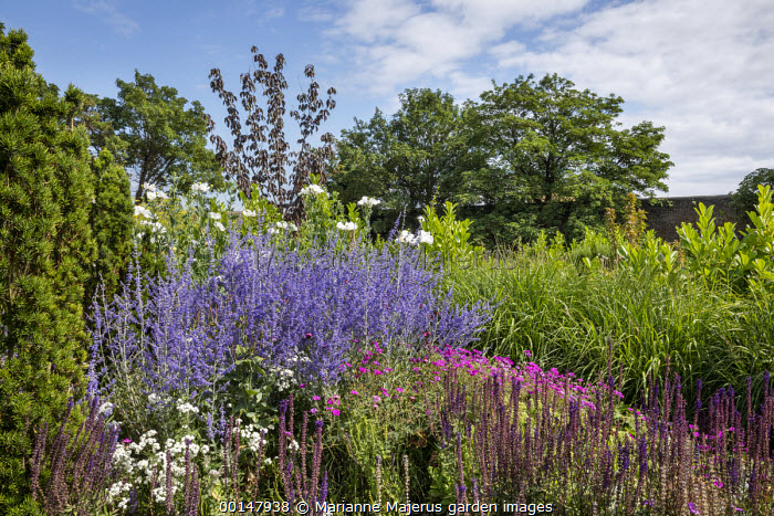 Geranium 'Patricia', Romneya coulteri, Achillea ptarmica 'The Pearl', Salvia nemorosa 'Ostfriesland', Taxus baccata 'Fastigiata', Perovskia atriplicifolia 'Blue Spire'