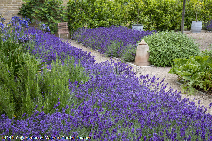 Drift of Lavandula angustifolia 'Hidcote' edging gravel path leading to chair, Salvia officinalis, Rosmarinus officinalis 'Miss Jessopp's Upright', bay hedge, Ficus carica