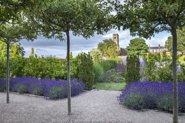 Umbrella-trained Malus sylvestris, Lavandula angustifolia 'Hidcote', self-binding gravel, bay hedge, Taxus baccata 'Fastigiata', view to church