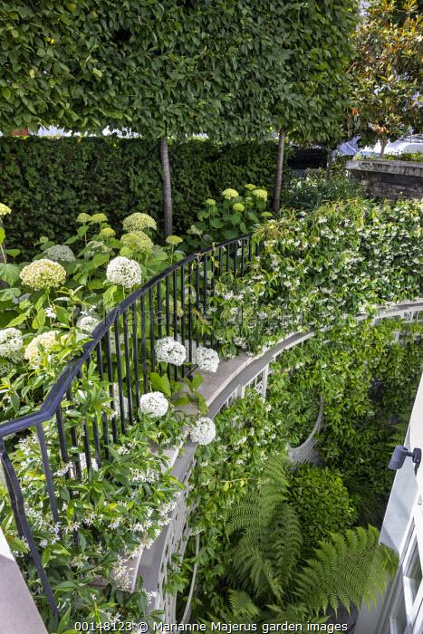 Trachelospermum jasminoides climbing over balcony railings, Hydrangea arborescens 'Annabelle', yew hedge, pleached hornbeam screen