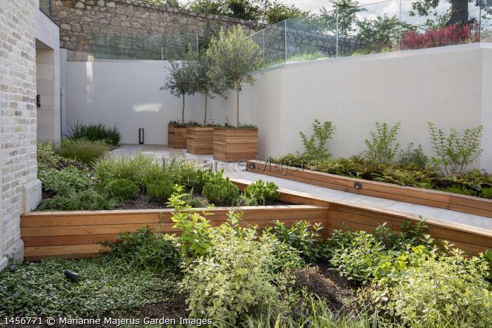 Contemporary courtyard garden, red cedar border edging, pittosporum, Vinca minor, olive trees in red cedar planters, ferns, rosemary,  Carex 'Ice Dance', Pinus mugo Pumilio Group
