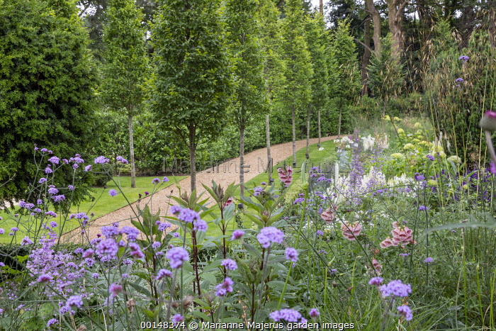 Gravel path between avenue of Carpinus betulus 'Fastigiata', Verbena bonariensis, Digitalis mertonensis, Stipa gigantea