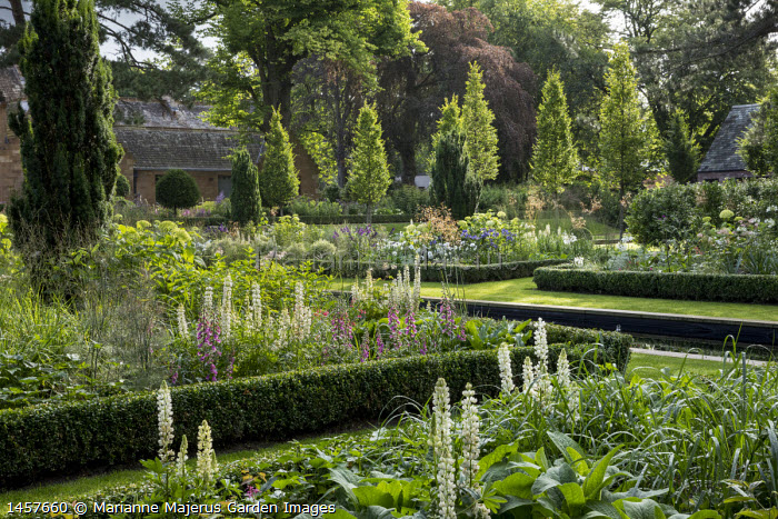 View across formal box-edged borders planted with lupins and foxgloves, Taxus baccata 'Fastigiata'
