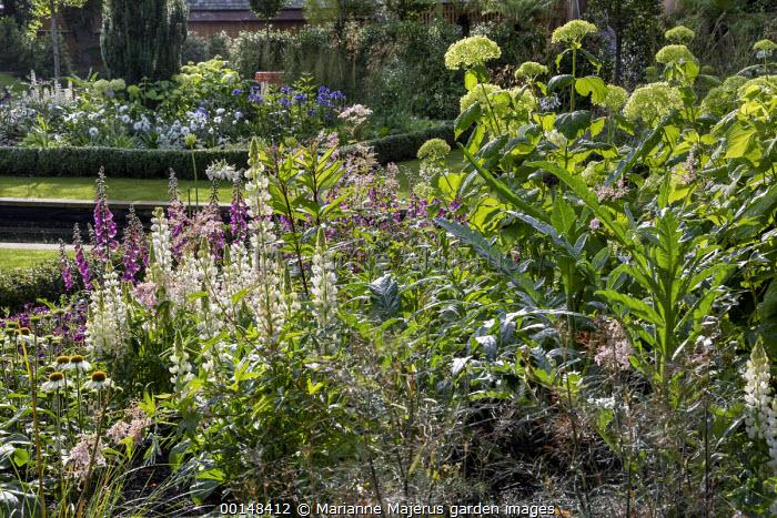 Hydrangea arborescens 'Annabelle', lupins, foxgloves