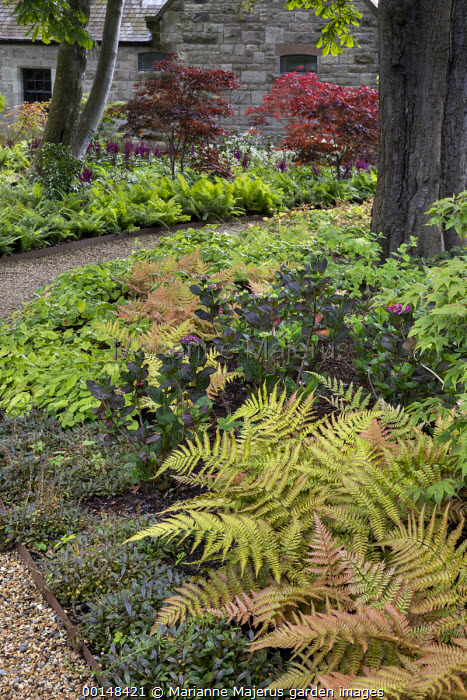 Gravel path edged with ferns through woodland garden, Dryopteris erythrosora, Acer palmatum, epimedium, hydrangea