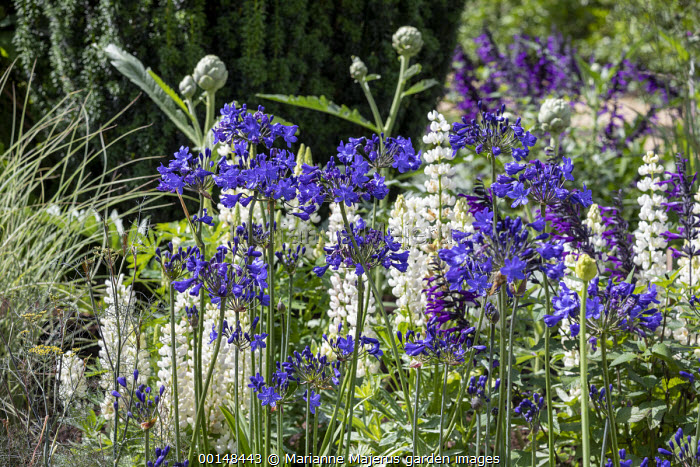 Agapanthus, lupins, artichokes