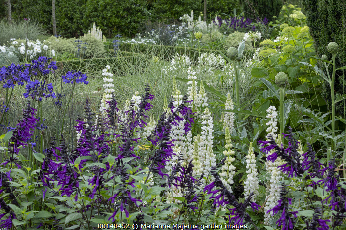 Salvia 'Amistad', lupins, artichokes, Miscanthus sinensis 'Morning Calm', agapanthus