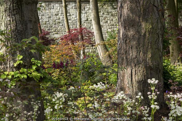 Woodland border, Astrantia major, Acer palmatum