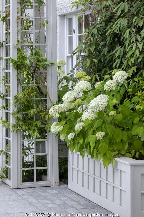 Hydrangea arborescens 'Annabelle' in wooden raised bed