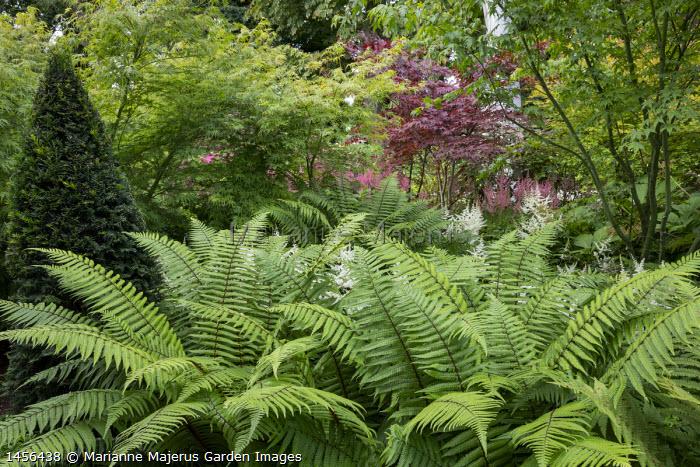 Dryopteris wallichianum, Taxus baccata yew pyramids, astilbe, Acer palmatum