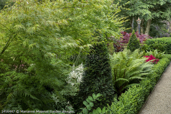 Dryopteris wallichianum, Taxus baccata yew pyramids, Acer palmatum, astilbe, low clipped box hedge