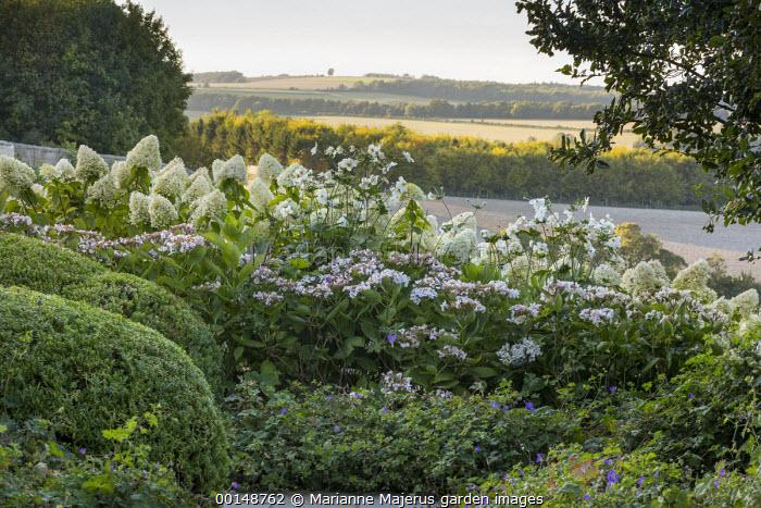 Anemone × hybrida 'Honorine Jobert', Hebe rakaiensis, Geranium 'Brookside', Hydrangea paniculata 'Little Lime'
