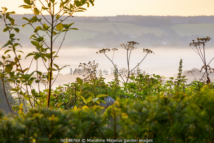 Umbellifer seedheads in hedgerow, mist over fields at sunrise
