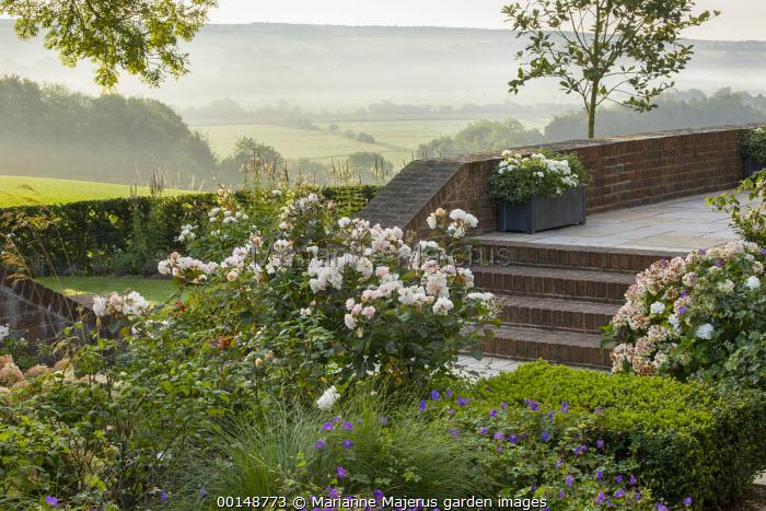 Rosa 'Penelope', Geranium 'Rozanne', hydrangea, clipped box cube, brick steps