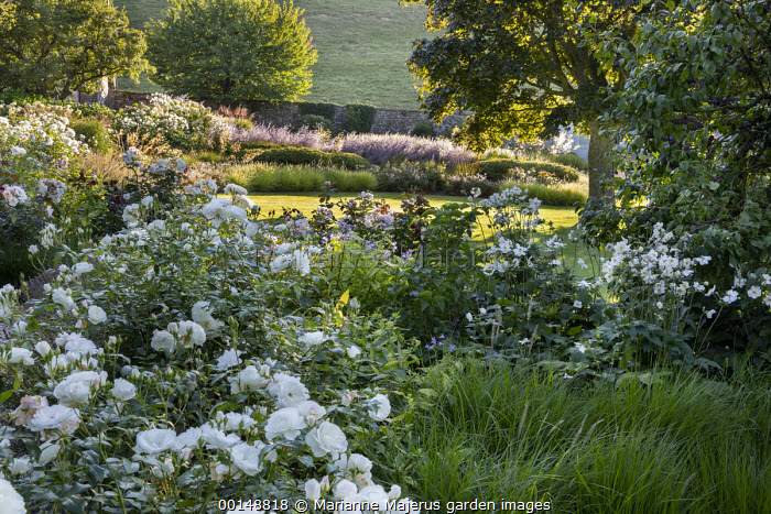 Rosa 'Iceberg', Campanula lactiflora 'Prichard's Variety', Anemone × hybrida 'Honorine Jobert'
