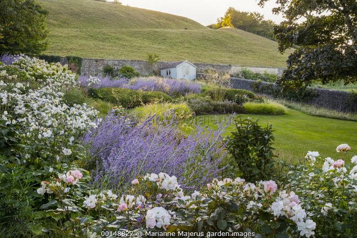 Rosa 'Penelope', Perovskia 'Blue Spire', Anemone × hybrida 'Honorine Jobert'