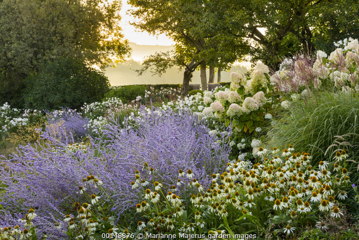 Perovskia 'Blue Spire', Echinacea purpurea 'White Swan', Hydrangea paniculata 'Little Lime'