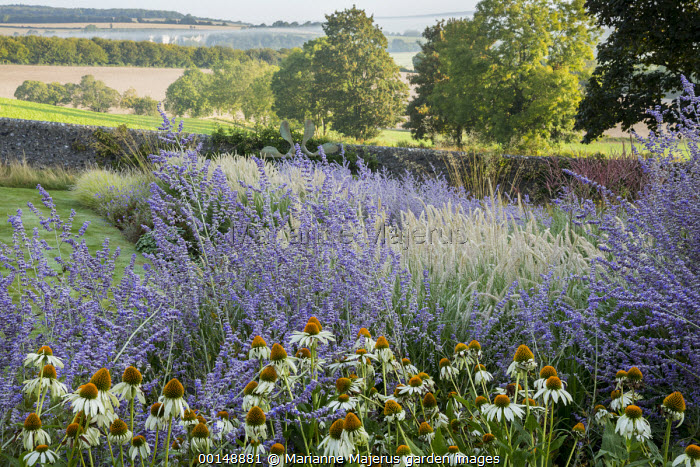 Perovskia 'Blue Spire', Echinacea purpurea 'White Swan', Pennisetum 'Fairy Tails'