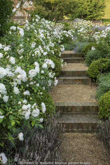 Brick and gravel steps, Rosa 'Iceberg'