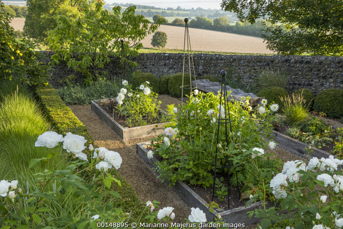Wooden raised beds, dahlias in cutting garden, Rosa 'Iceberg'