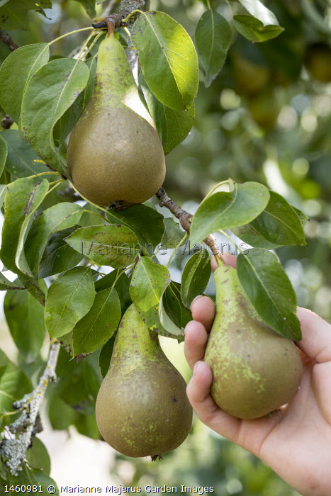 Person picking Pyrus communis 'Conference'