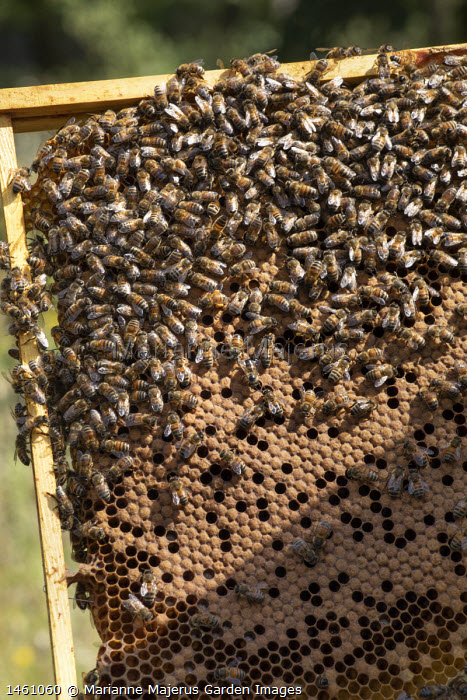 Honeybees on beehive frame removed from beehive