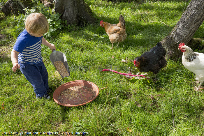 Boy feeding chickens in orchard with mealworms and grain