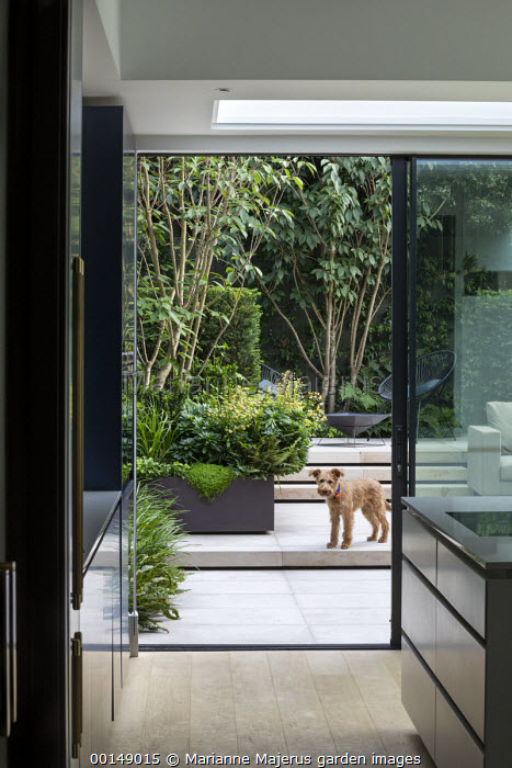 View from inside contemporary kitchen to courtyard garden outside, dog, multi-stemmed prunus in raised bed