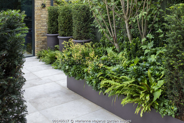 Multi-stemmed Prunus 'Kanzan' in raised bed underplanted with Euphorbia amygdaloides var. robbiae, Euonymus japonicus 'Green Rocket' and ferns, Taxus baccata columns in pots, Jura Limestone paving