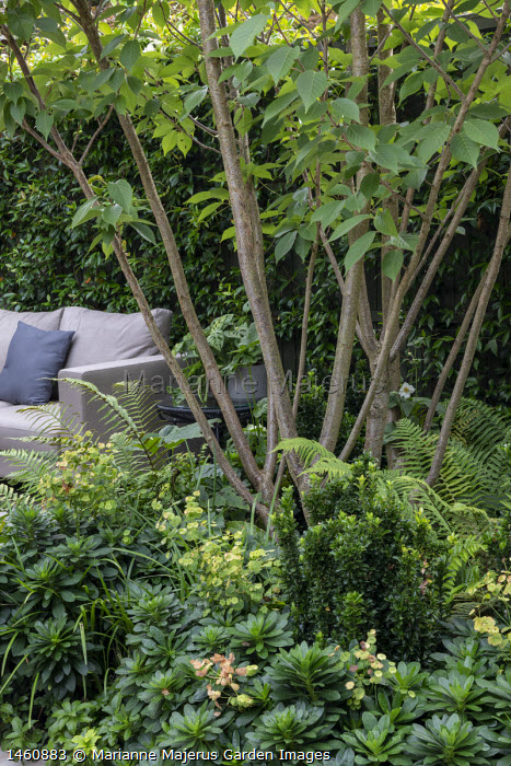 Multi-stemmed prunus underplanted with ferns and euphorbia, outdoor sofa with cushions on patio