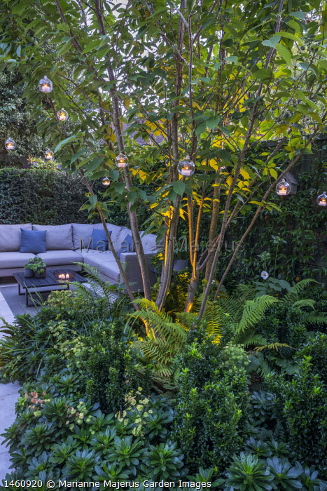 Multi-stemmed prunus in raised bed, euphorbia, ferns, outdoor sofa with cushions, hanging candle lanterns